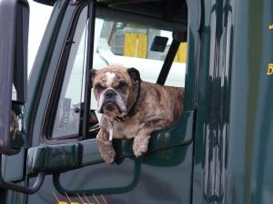 bulldog in semi truck